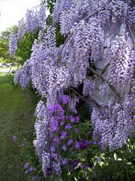 wisteria sinensis australian bush flower plantfiles pictures wisteria species chinese wisteria wisteria