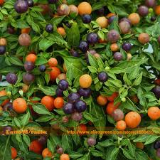 get cheap purple ornamental peppers aliexpress