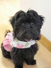 oldest affenpinscher 16 best affenpinscher dogs and puppys images on pinterest puppys