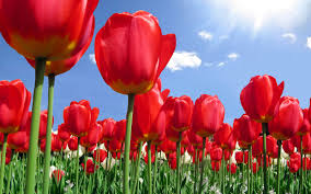Beatuful Download Free Beautiful Tulips Wallpapers Most Beautiful Places