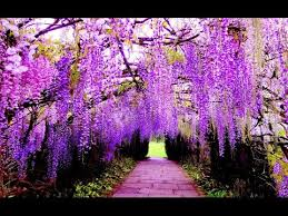japan flower tunnel wisteria flower tunnel in japan amazing places in the world