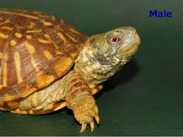 ornate box turtles for sale from the turtle source