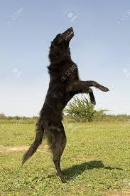 belgian sheepdog groenendael sale picture of a rearing purebred belgian sheepdog groenendael stock