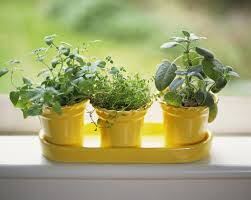 Window Sill Herb Garden by How To Grow Herbs Indoors On A Sunny Windowsill