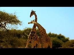 Drunk Giraffe Meme - viral video most violent giraffe fight ever good morning america