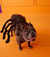 spider dog pet costume halloween black widow spider and pet dog