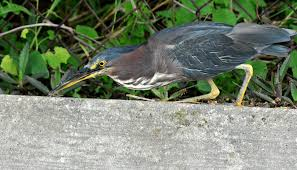 a green heron in the backyard dina u0027s city wildlife adventures