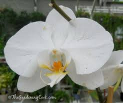 moth orchids phalaenopsis great choice for beginners the
