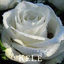white roses for sale online get cheap white big roses aliexpress alibaba