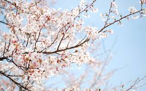 wallpaper cherry tree blossom flower branch hd