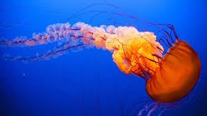 10 cool things you didn t about jellyfish explore awesome