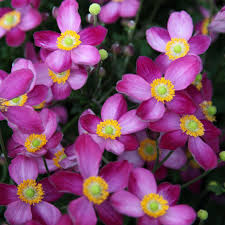 buy japanese anemone anemone hybrida u0027 u0027pretty lady susan u0027 lady