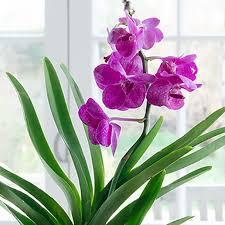 vanda orchid vanda orchid