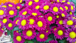Fall Flowers Free Images Nature Fall Flower Petal Floral Harvest Autumn