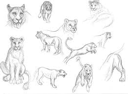 lion study 2 by foxfeather248 on deviantart