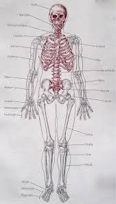 Appendicular Skeleton Worksheet 227 Best Bones Beautiful Bones Images On Pinterest Human