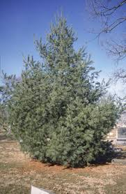 12 great live christmas trees for the landscape the home depot
