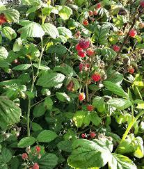 plants native to scotland raw edible plants wild raspberries rubus idaeus