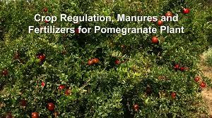 Fertilizer For Flowering Shrubs - crop regulation manures and fertilizers for pomegranate plant
