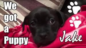 pug x boxer dog we got a puppy meet jake the super cute patterpug dog a