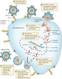 Cell Reproduction Concept Map Answers 6 2 The Viral Life Cycle Biology Libretexts