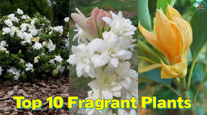 Very Fragrant Plants - top 10 fragrant plants to make your every day a refreshing