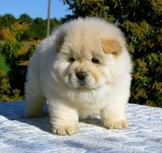 chow chow x belgian malinois chow chow dog breed standards