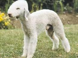 bedlington terrier guard dog bedlington terrier breed information and pictures on puppyfinder com