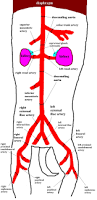 Cat Dissection Worksheet Cat Arteries Diagram System Human Anatomy Library