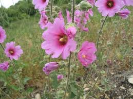 hollyhock flowers alcea