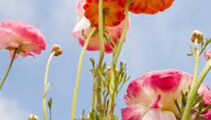 Ranunculus Ranunculus Garden Guides