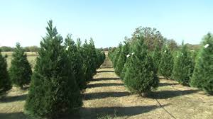 charleston christmas tree farm prepares for holiday season fort