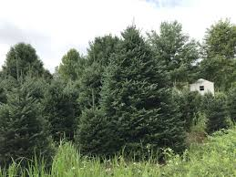 demand high for area christmas trees mountain times