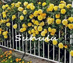 Fragrant Potted Plants - heirloom u0027pilgrim u0027 fragrant yellow climbing rose shrub seeds diy