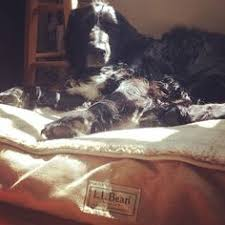 Ll Bean Dog Bed L L Bean Dog Bed And Dachshund Via Instagram Littlechicks15