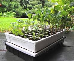 why vegetable seedlings stretch and get spindly a way to garden