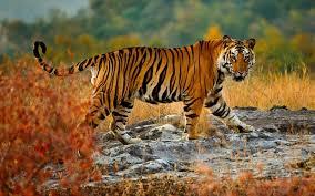 wildlife tours images Indian wildlife tours wildlife tours india wildlife tiger safari jpg