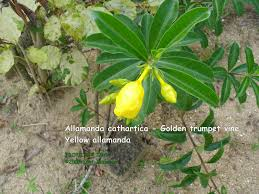 allamanda cathartica l golden trumpet vine