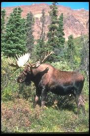 New Hampshire wildlife tours images Moose tours dan 39 s scenic tours llc north conway gorham jpg