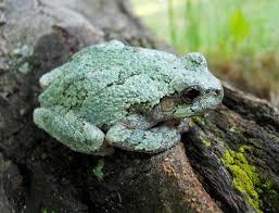 file green treefrog gray species 5 jpg wikimedia