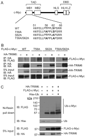 Flag Tag Dna Sequence Trim6 Interacts With Myc And Maintains The Pluripotency Of Mouse