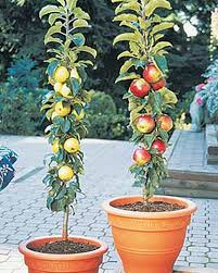 columnar apple trees buy from gardener s supply