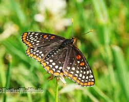Butterfly Office Decor Checkerspot Etsy