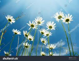 white daisies on blue sky background stock photo 57496405