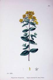18 best scutellaria skullcaps images on pinterest herbs