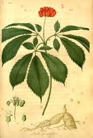 native north american plants american ginseng wikipedia
