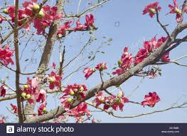 tree with pink flowers view of a tree with pink flowers pune maharashtra india stock