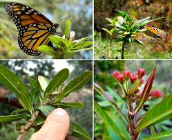 creating and maintaining a monarch sanctuary in your yard shibumo