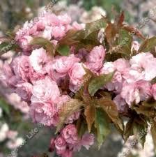 buy floss japanese flowering cherry tree free uk