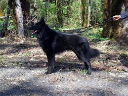 belgian sheepdog oregon obsidian belgian sheepdogs light green boy